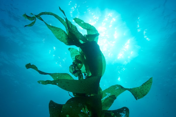 SCSU Project Blue photo of kelp underwater
